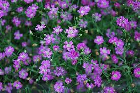 Baby S Breath Flower Gypsophila Plant Grow Baby Breath Flowers U0026 Gyp