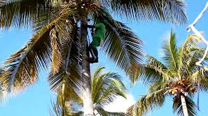 climbing palm tree with ropes punta cana dominican republic