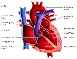 Anatomy Of Heart Valve Activities And Answer Keys Ck 12 Foundation