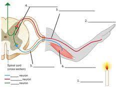 Knee Reflex Arc Reflex Arc Animation Fisiología Pinterest
