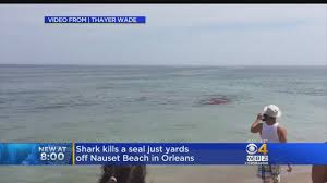 shark attacks seal near surfers off cape cod beach youtube