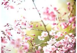 cherry blossom design wallpaper openall