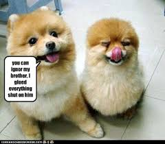 Pomeranian Meme - i has a hotdog pomeranian funny dog pictures dog memes