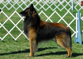 belgian sheepdog guard dog belgian tervuren temperament u0026 personality