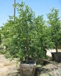 cercis canadensis var mexicana nurseries