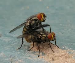 Flies In Backyard Flies Backyard Zoologist