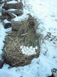 flagstaff landscaping with backyard chickens