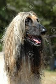 afghan hound dog images a beautiful afghan hound dog head portrait with alert expression