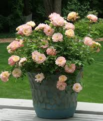 drift roses caring and different colors the planting tree