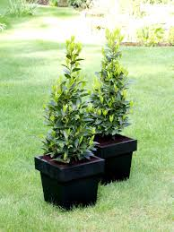 pair of small pyramid bay trees laurus nobilis topiary buy