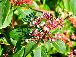 Fragrant Plants List Fragrant Winter Blooming Name That Plant