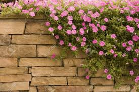 wall flowers a spread of purple flowers on a rock wall stock photo picture and