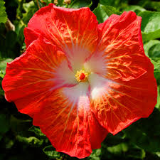 Pretty Orange Buying Tropical Hibiscus At Shows Hibiscus Rosa Sinensis