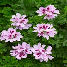 Fragrant Bedding Plants - large selection of bedding plants for masses of colorful flowers