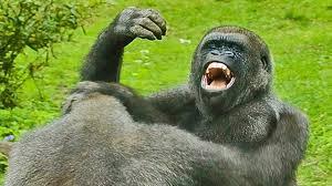 gorilla vs chimp ape attacks youtube