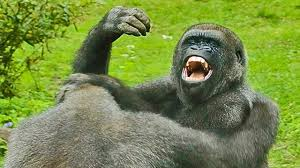 Gorilla by Gorilla Vs Chimp Ape Attacks Youtube
