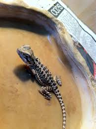 baby leatherback bearded dragon beard 2017