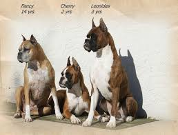 boxer dog 10 months bully dog breeds the most famous ones