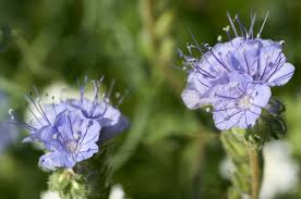 anza borrego desert wild flowers 20170313