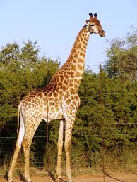 it u0027s time to stand tall for imperilled giraffes african