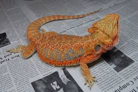 id u0027ing sexing u2022 bearded dragon org