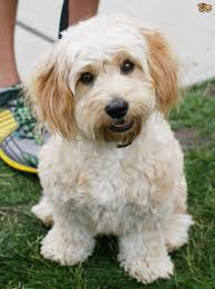 cockapoo vs bichon frise cavachon dog breed information buying advice photos and facts