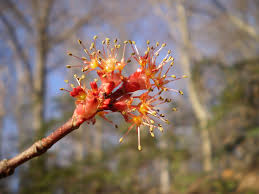 native plants maryland maryland flowering trees the sanguine root