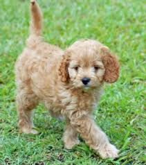 afghan hound poodle cross more about the scottish terrier poodle mix aka scoodle dogable