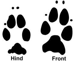 rabbit prints rabbit paw prints i didn t actually the prints differed