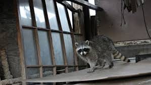 what are some home remedies to get rid of raccoons reference com