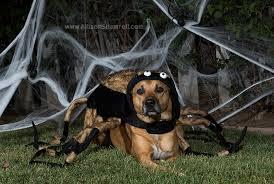 Spider Halloween Costume Dogs Bailey Spider Howl Ween 2015 San Diego Pet Photographer