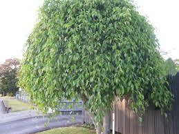 trees the trees flowers of whangarei