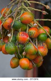 Palm Trees Fruit - palm trees and fresh palm fruits harvest in ouargla algeria