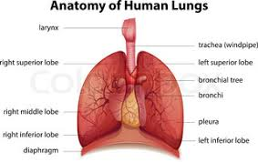 drawing of the human respiratory system in vector format stock