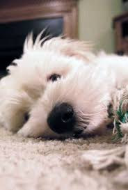 loss of dog hair loss treatment for dogs and cats 1800petmeds