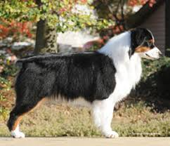 1 australian shepherd myshara australian shepherds now showing