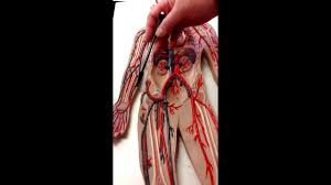 Anatomy And Physiology Lab Practical 2 Blood Vessels For Lab Practical Exam Youtube