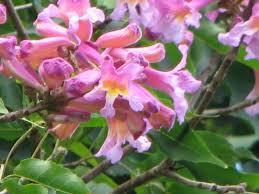 australian garden flowers my dry tropics garden tabebuia impetiginosa the dwarf pink