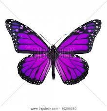 purple butterflies purple butterfly isolated on white