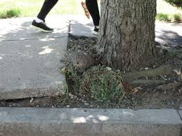worst sidewalk lifting by tree roots on photo by