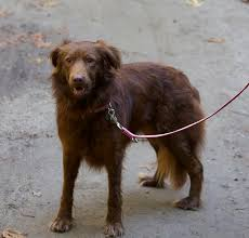australian shepherd lab mix for sale 26 unreal labrador cross breeds you have to see to believe