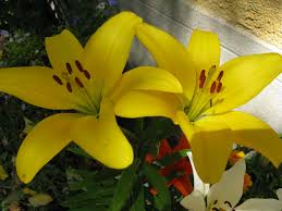 Lilies Flowers Garden Yellow Lilies Flowers Wallpaper Flower Rose Full Hd