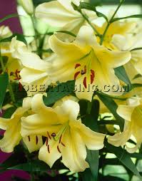 yellow lilies yellow 12 pc