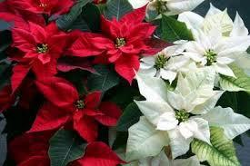 Christmas Plants Ms Darkside V Christmas Plants