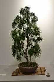 bonsai saule pleureur 751 best bonsai images on pinterest bonsai trees bonsai plants