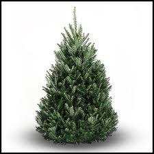 balsam fir tree real tree