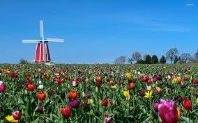 windmill in tulip field wallpaper flower wallpapers 48082