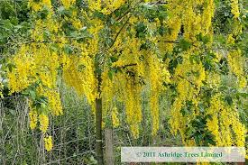 laburnum tree laburnum x watereri vossii trees for sale guaranteed