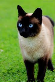 best 25 siamese ideas on pinterest siamese kittens siamese