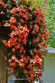 plant native crossvine for hummingbirds u0026 bees